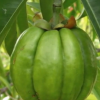 Is Garcinia Cambogia A Scam?